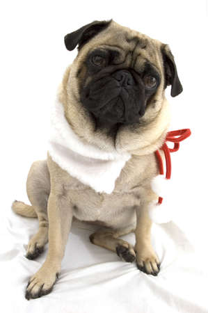 Holiday Pug Stock Photo - 3135976