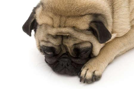 Close up of Sleeping Pug photo
