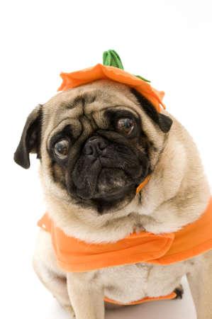 halloween pumpkins: Scary Halloween Pug