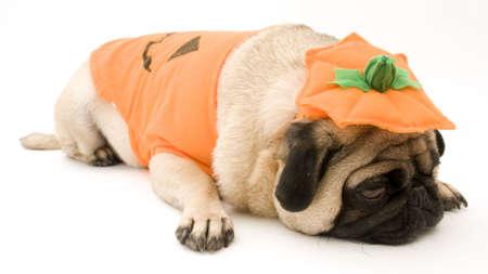 Halloween Pug Aanleg Down Stockfoto