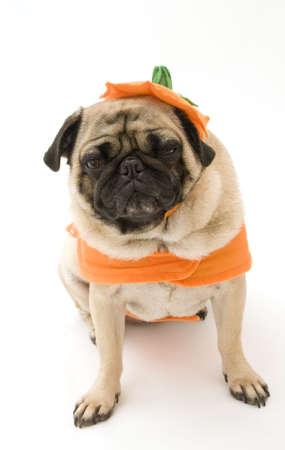 Puc sitting in Pumpkin kostuum