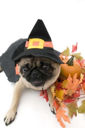 Puc gekleed als Witch voor Halloween Stockfoto
