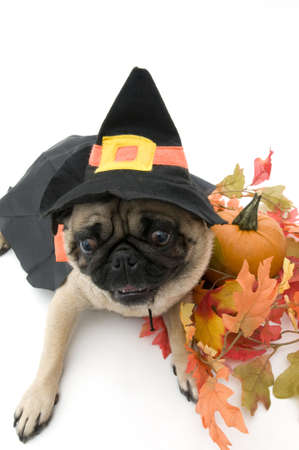 Pug Dressed as Witch for Halloween Stock Photo