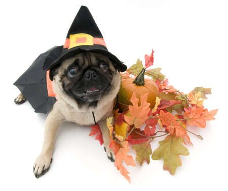 Witch Pug Dressed Up for Halloween