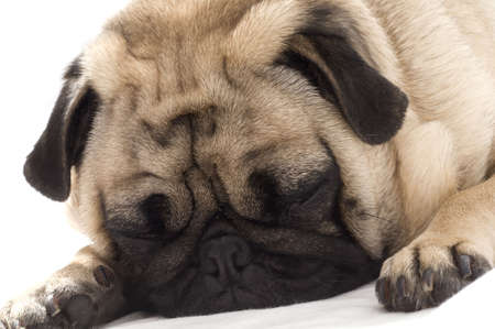 Sleeping Pug Stock Photo - 3746562