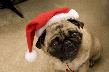 Cute Santa Pug photo
