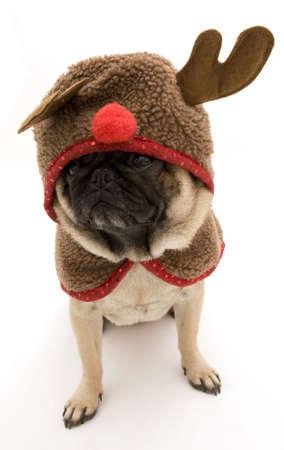 Cute Reindeer Pug Stock Photo