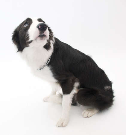 scolded: Scolded Border Collie Stock Photo