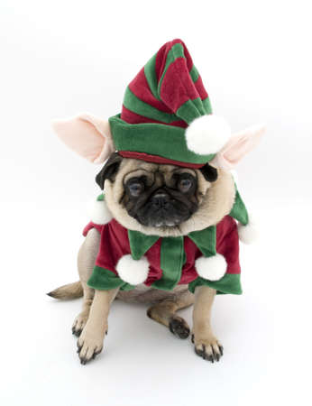 is embarrassed: Embarrassed Elf Pug