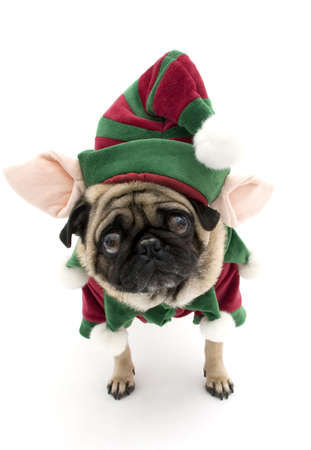 Worried Elf Pug Stock Photo
