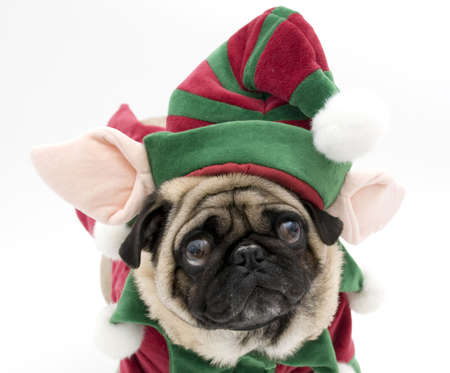 christmas costume: Elf Pug