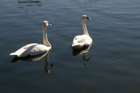 swans: Two Swans