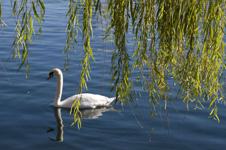 Swan on Lake with Trees