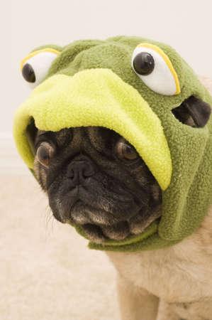 Cute Frog Pug