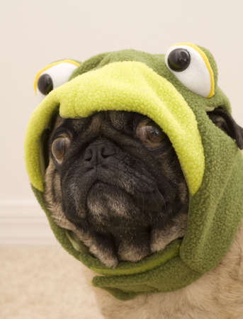 Pug Dressed up as a Frog For Halloween