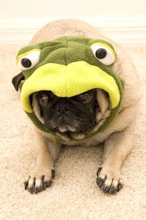 Frog Pug Laying Down Stock Photo