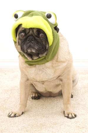 Frog Pug Sitting