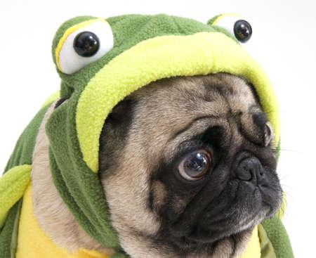 Frog Pug photo