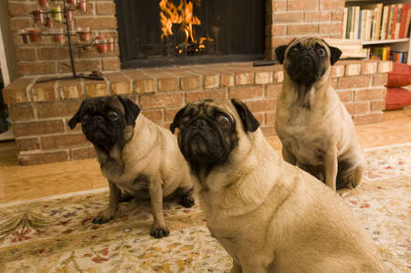 Three Pugs in Front of Fireplace Stock Photo