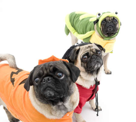 Drie Pugs gereed voor Halloween