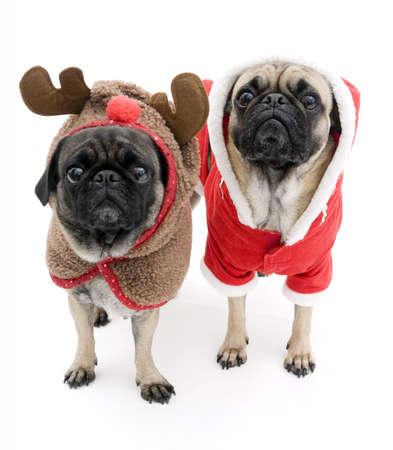 Cute Christmas Pugs Stock Photo - 6510803