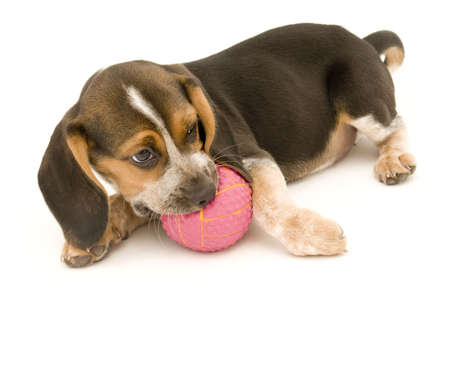 Beagle and Rubber Ball Imagens - 6800984