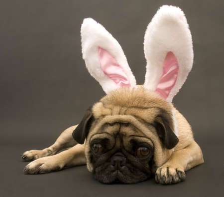 Bunny Pug Stock Photo