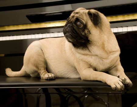 Cute Pug on Piano Bench