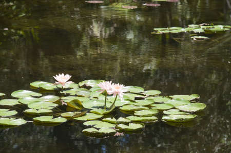 waterlillies: Lilly Pads in Pond