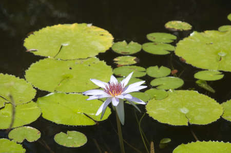 waterlillies: Lilly pads Stock Photo