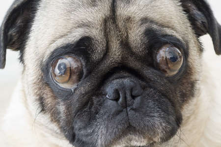 Worried Pug Stock Photo - 7947409