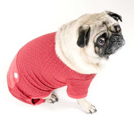 Christmas Pug photo