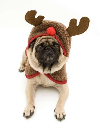 Cute Reindeer Pug photo