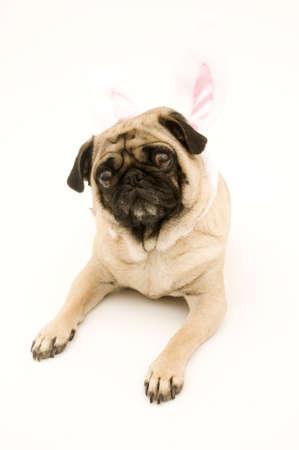 Bunny Pug photo