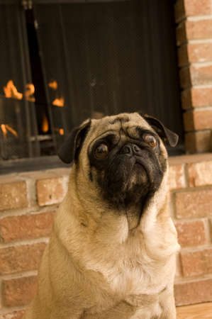 Pug in Front of Fire Place