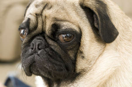 Close up of Pug