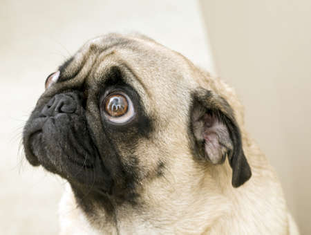 Cute Pug Looking Up Stock Photo