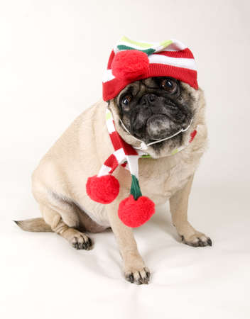 Christmas Pug Portrait Stock Photo - 11452799