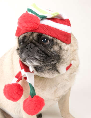 Christmas Pug Portrait photo