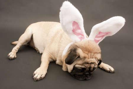 Easter Bunny Pug Laying Down Stok Fotoğraf