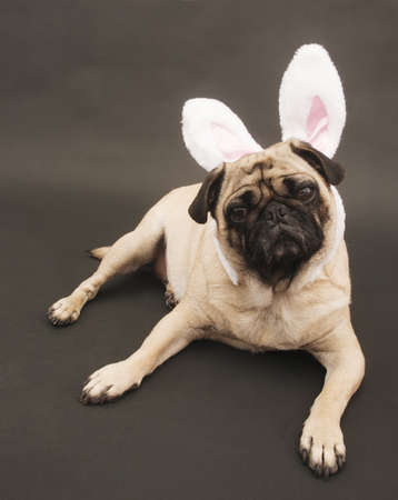 Easter Bunny Pug Stock Photo
