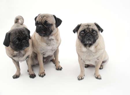 Three Pugs Isolated