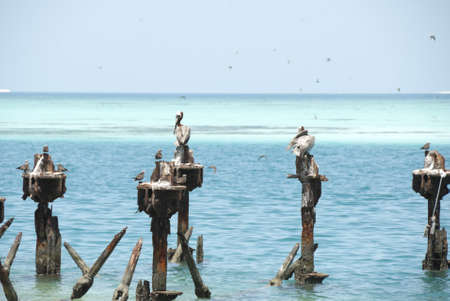 dry tortugas: Pelicans in Dry Tortugas