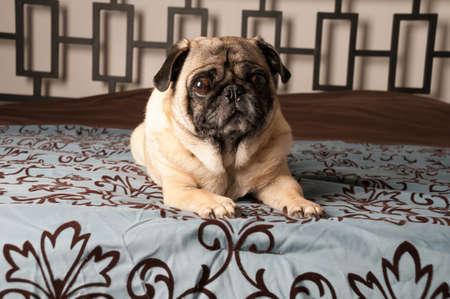 Pug Laying Down photo