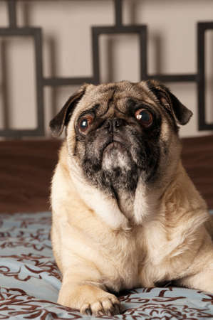 Pug Laying Down, Looking Up photo