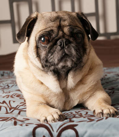 Pug Laying Down on Bed photo