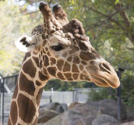 Close up of Giraffe Stock Photo - 16297107