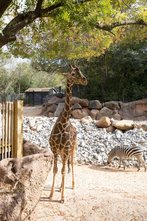 Zebra and Giraffe Stock Photo - 16297109