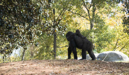 Gorilla and Baby at Atlanta Zoo Stock Photo - 16297101