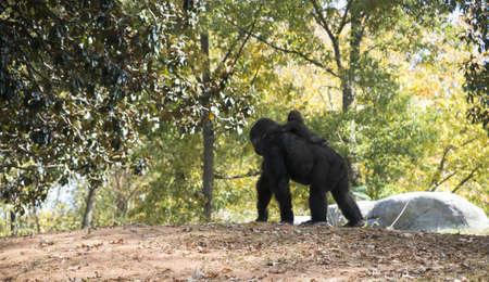 Gorilla and Baby at Atlanta Zoo Stock Photo - 16297101